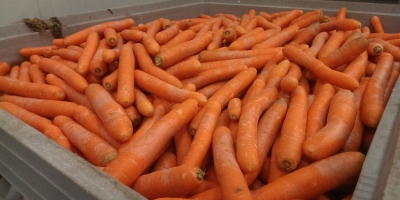 Carrots for processing  from Poland
