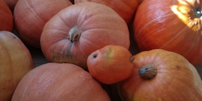 SELL FRESH VEGETABLES FRESH PUMPKIN, PRICE - AGRICULTURAL EXCHANGE, Agro-Market24