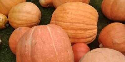 SELL FRESH VEGETABLES FRESH PUMPKIN, PRICE - AGRICULTURAL ADVERTISEMENTS, Agro-Market24