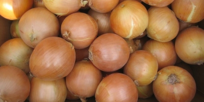 SELL FRESH VEGETABLES FRESH ONION, PRICE - CENY ROLNICZE, Agro-Market24