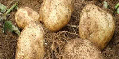SELL FRESH POTATOES FRESH POTATOES, PRICE - CENY ROLNICZE, Agro-Market24