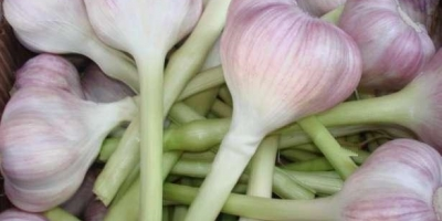SELL FRESH VEGETABLES FRESH GARLIC, PRICE - AGRICULTURAL ADVERTISEMENTS, Agro-Market24