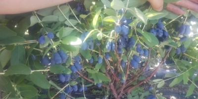 I offer fruit of honeyberry for sale. The collection will start at the beginning of June 2019. Quantity and packaging to be determined. Available to 20 tons. I invite you