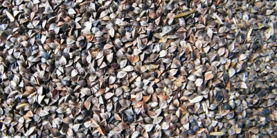 SELL FRESH CEREALS  CEREALS  BUCKWHEAT, PRICE - AGRICULTURAL ADVERTISEMENTS, Agro-Market24