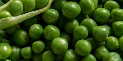 SELL FRESH VEGETABLES FRESH PEA , PRICE - AGRICULTURAL EXCHANGE, Agro-Market24