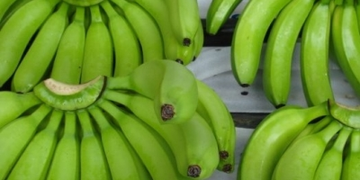 SELL FRESH FRUITS FRESH BANANAS, PRICE - INTERNATIONAL AGRICULTURAL EXCHANGE, Agro-Market24