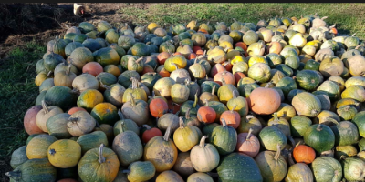 SELL FROZEN VEGETABLES FRESH PUMPKIN, PRICE - AGRICULTURAL ADVERTISEMENTS, Agro-Market24