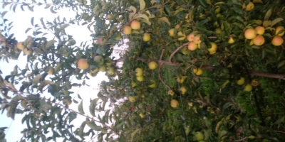 SELL INDUSTRIAL FRUITS FRESH APPLES GOLDEN REINDERS, PRICE - INTERNATIONAL AGRICULTURAL EXCHANGE, Agro-Market24