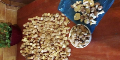 SELL FRESH MUSHROOMS FRESH FOREST MUSHROOMS BOLETUS, PRICE - INTERNATIONAL AGRICULTURAL EXCHANGE, Agro-Market24