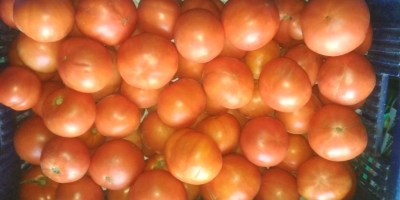 SELL FRESH VEGETABLES FRESH TOMATOES RED, PRICE - AGRICULTURAL EXCHANGE, Agro-Market24