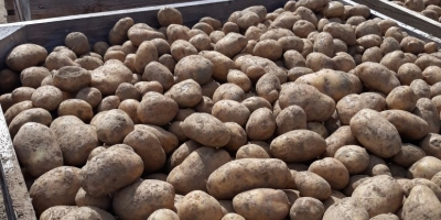 SELL INDUSTRIAL POTATOES FRESH POTATOES, PRICE - AGRICULTURAL ADVERTISEMENTS, Agro-Market24