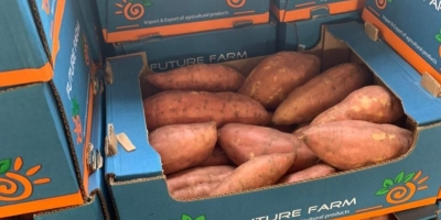 Egyptian sweet potato available round the year