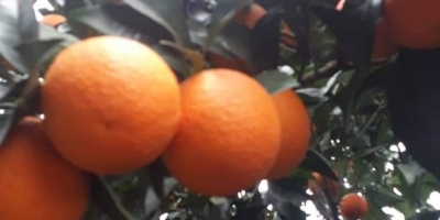 SELL FRESH FRUITS FRESH ORANGES, PRICE - CENY ROLNICZE, Agro-Market24