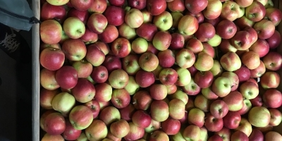 SELL FROZEN FRUITS FRESH APPLES IDARED, PRICE - INTERNATIONAL AGRICULTURAL EXCHANGE, Agro-Market24