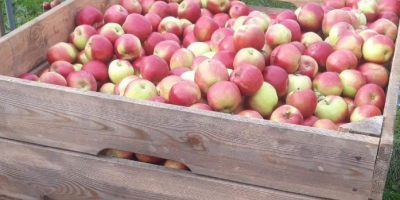 SELL FROZEN FRUITS FRESH APPLES IDARED, PRICE - AGRICULTURAL EXCHANGE, Agro-Market24