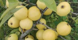 SELL FROZEN FRUITS FRESH QUINCE, PRICE - AGRICULTURAL EXCHANGE, Agro-Market24