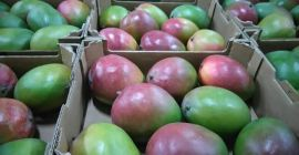 SELL FRESH FRUITS FRESH MANGO, PRICE - CENY ROLNICZE, Agro-Market24