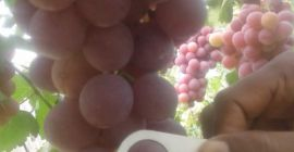 SELL FROZEN FRUITS FRESH GRAPES, PRICE - CENY ROLNICZE, Agro-Market24