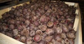 SPRZEDAM SWIEŻE VEGETABLES FRESH BEETROOTS, PRICE - AGRICULTURAL ADVERTISEMENTS, Agro-Market24