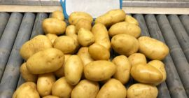 SELL DRIED POTATOES FRESH POTATOES, PRICE - AGRICULTURAL ADVERTISEMENTS, Agro-Market24