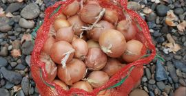 SELL FROZEN VEGETABLES FRESH ONION, PRICE - CENY ROLNICZE, Agro-Market24