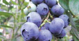 SELL FRESH FRUITS FRESH BLUEBERRY, PRICE - AGRICULTURAL EXCHANGE, Agro-Market24