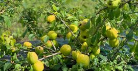 We are farmers from Latvia with over 20 years of experience. Quince is growing, and our experience allows us to produce a high quality product that we are ready to provide for export! Contact us for more information on size, quantity and logistics!
