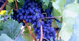 SELL FRESH FRUITS FRESH GRAPES, PRICE - CENY ROLNICZE, Agro-Market24