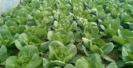 SELL FRESH VEGETABLES FRESH CABBAGE WHITE, PRICE - AGRICULTURAL EXCHANGE, Agro-Market24