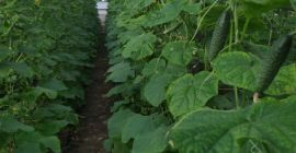 SELL FRESH VEGETABLES FRESH CUCUMBERS, PRICE - INTERNATIONAL AGRICULTURAL EXCHANGE, Agro-Market24