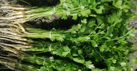 SELL FROZEN HERBS  HERBS PARSLEY LEAVES, PRICE - INTERNATIONAL AGRICULTURAL EXCHANGE, Agro-Market24
