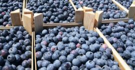 SELL FRESH FRUITS FRESH BLUEBERRY, PRICE - AGRICULTURAL ADVERTISEMENTS, Agro-Market24