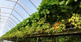 SELL FRESH FRUITS FRESH STRAWBERRIES, PRICE - AGRICULTURAL ADVERTISEMENTS, Agro-Market24