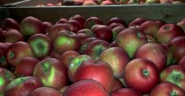 SELL FRESH FRUITS FRESH APPLES CHAMPION, PRICE - CENY ROLNICZE, Agro-Market24