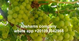 (ALshams company for general import & export )