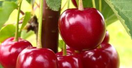 SELL FRESH FRUITS FRESH SOUR CHERRIES, PRICE - AGRICULTURAL EXCHANGE, Agro-Market24