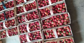 SELL FRESH FRUITS FRESH STRAWBERRIES, PRICE - AGRICULTURAL EXCHANGE, Agro-Market24