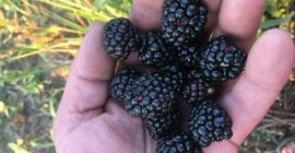 Blackberryes for sale. Variety Thornfree. Telephone number: +40734031759