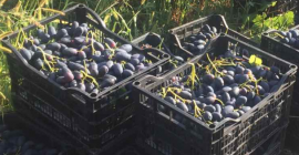 SELL FRESH FRUITS FRESH GRAPES, PRICE - AGRICULTURAL EXCHANGE, Agro-Market24