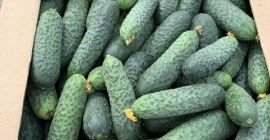 SELL FRESH VEGETABLES FRESH CUCUMBERS, PRICE - AGRICULTURAL EXCHANGE, Agro-Market24