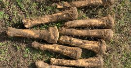 SELL INDUSTRIAL VEGETABLES FRESH HORSERADISH ROOT, PRICE - AGRICULTURAL EXCHANGE, Agro-Market24