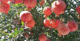 SELL FROZEN FRUITS FRESH POMEGRANATE, PRICE - INTERNATIONAL AGRICULTURAL EXCHANGE, Agro-Market24
