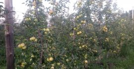 SELL FRESH FRUITS FRESH APPLES GOLDEN REINDERS, PRICE - INTERNATIONAL AGRICULTURAL EXCHANGE, Agro-Market24