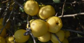 SELL FRESH FRUITS FRESH QUINCE, PRICE - AGRICULTURAL ADVERTISEMENTS, Agro-Market24