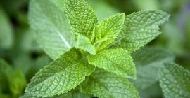 SELL FRESH HERBS  HERBS MINT, PRICE - AGRICULTURAL ADVERTISEMENTS, Agro-Market24