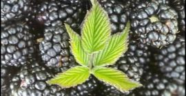 SELL FRESH FRUITS FRESH BLACKBERRIES, PRICE - AGRICULTURAL EXCHANGE, Agro-Market24