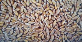 SELL FRESH CEREALS  CEREALS SPELT, PRICE - AGRICULTURAL ADVERTISEMENTS, Agro-Market24