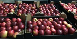 SELL FROZEN FRUITS FRESH APPLES IDARED, PRICE - CENY ROLNICZE, Agro-Market24