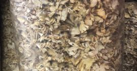 SELL FRESH MUSHROOMS FRESH FOREST MUSHROOMS OYSTER MUSHROOMS, PRICE - CENY ROLNICZE, Agro-Market24
