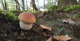SELL FRESH MUSHROOMS FRESH FOREST MUSHROOMS BOLETUS, PRICE - AGRICULTURAL EXCHANGE, Agro-Market24